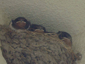 chick of swallows