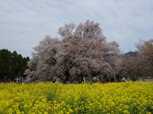 Transient Cherry Blossoms