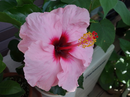 Hibiscus Candy Wind