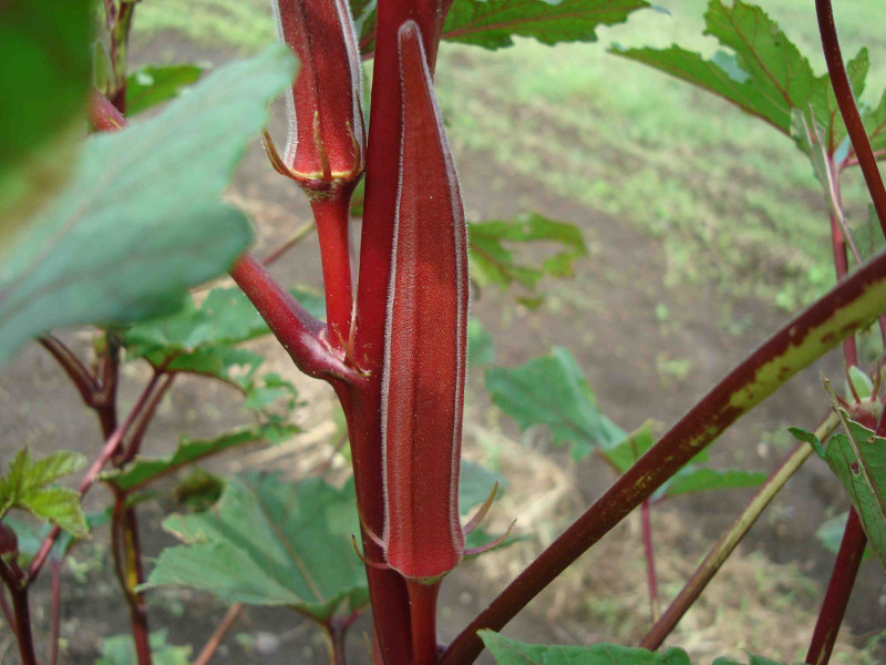Red Okra