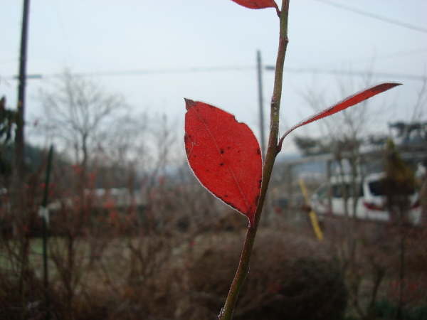 Frozen red leaves of blueberry