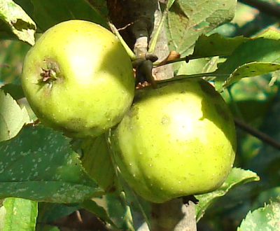 AlpsOtomeApple