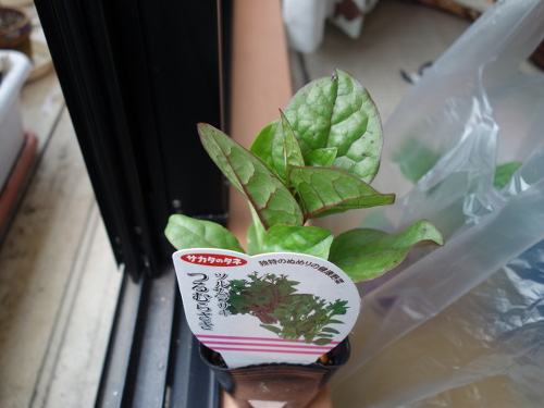 Malabar Spinach with red stem