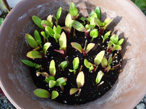 Malabar Spinach seedlings