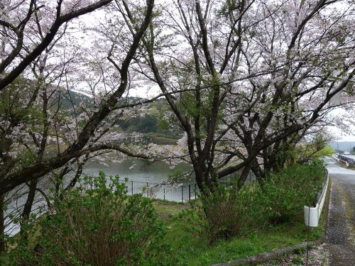 私の趣味大切畑溜め池のところのソメイヨシノ