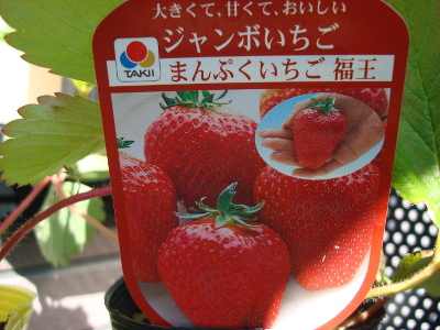 Strawberry Fukuo