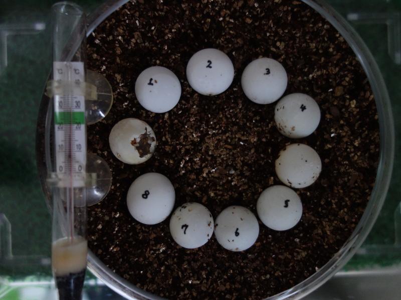 スッポンの卵