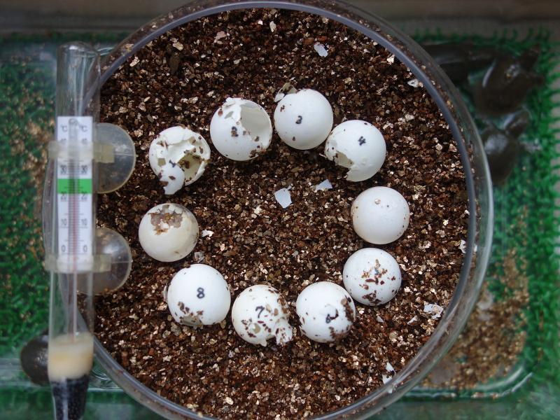 赤ちゃんスッポンの卵