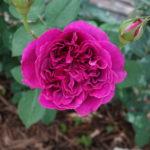 はな阿蘇美のバラドームのバラ2017(Part 2)