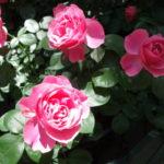 はな阿蘇美のバラドームのバラ2017(Part 3)