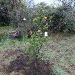 1.6メートルのシークヮーサーの木が2,980円だったので買ってきて植えました!