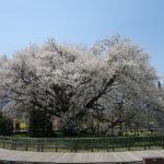 過去50年で最も開花が遅かった一心行の大桜を見に行きました!