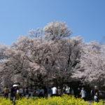 満開2日目の一心行の大桜を満開初日と比較してみた
