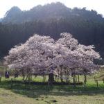 阿蘇山を背景にした満開の観音桜は絶景でした!