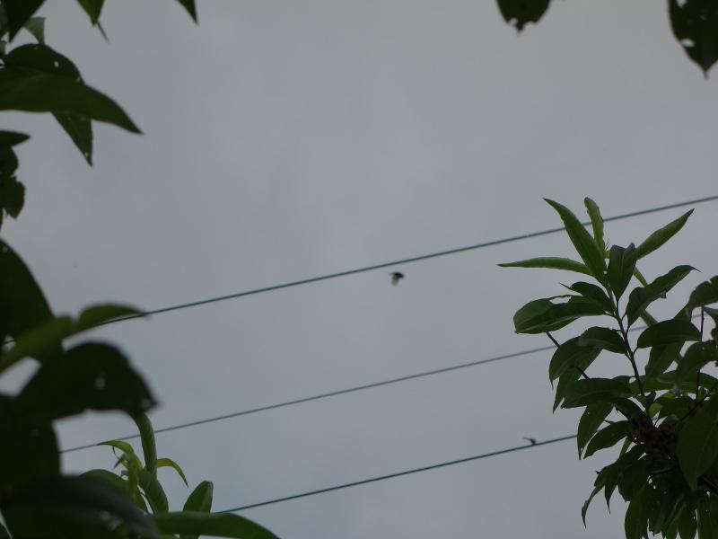 電線の上のシマエナガ