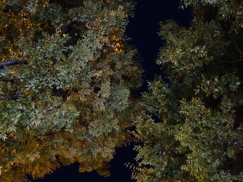 ケヤキの木のスズメ