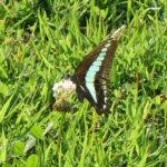 アゲハ蝶と幼虫の観察