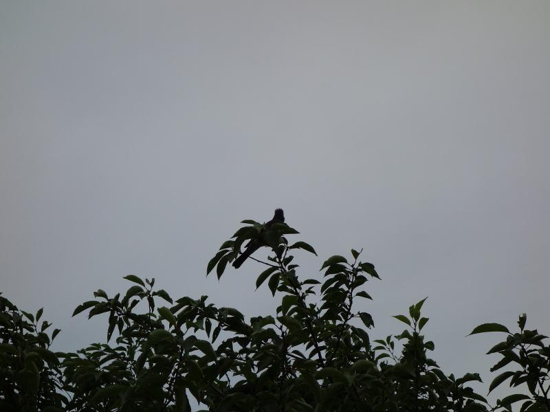 ヒヨドリとムクドリの巣立ち雛