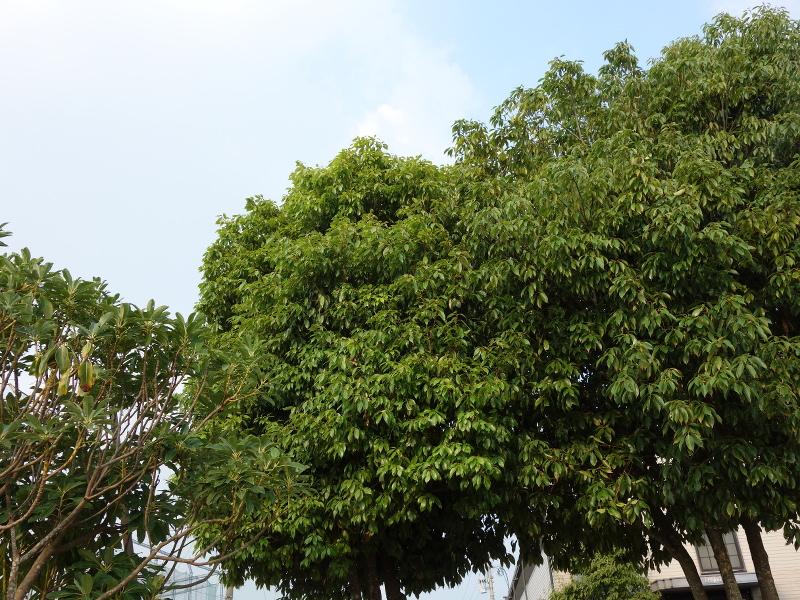 ヒヨドリの巣立ち雛がいた木