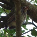 公園の木の茂みにいた3羽のヒヨドリの巣立ち雛の観察記録