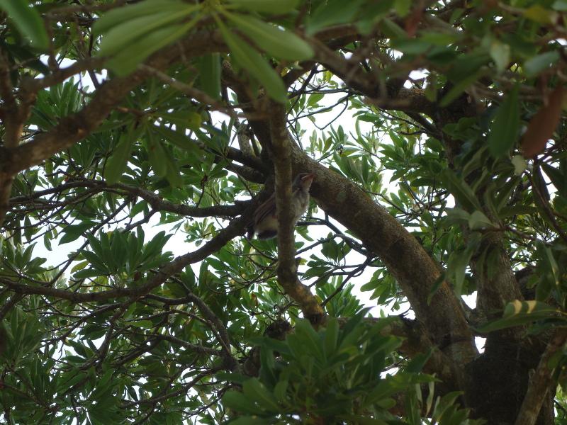 ヒヨドリの巣立ち雛