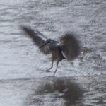 ササゴイはとてもおもしろい鳥だと思う根拠