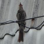 羽が傷んだヒヨドリ