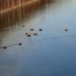 近所のため池と用水路にいるカルガモの観察