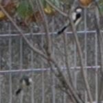 鳥が危険に晒されている時に注意を逸らしに現れる1羽のシジュウカラ
