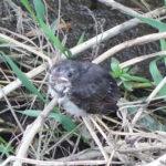 早朝の用水路で餌を待っていたヒヨドリの雛鳥