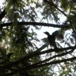 観察を始めてから5日目以降のヒヨドリの巣立ち雛2羽と親鳥