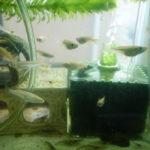 金魚鉢と水槽で飼育しているメダカ