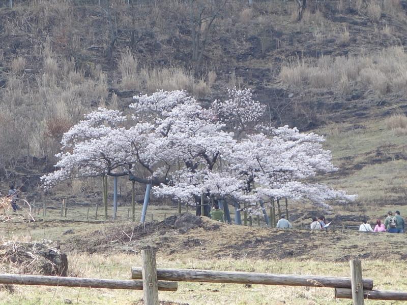 駐車場から見た観音桜