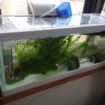 川魚とスッポンを飼っている5つの水槽(5ヶ月目〜)
