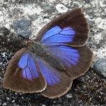 道路に止まっていた青い蝶ムラサキシジミ