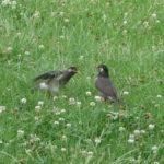 公園で巣立ち雛にムシを食べさせている親ムクドリ