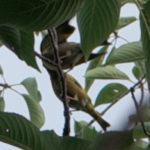 カワラヒワの巣立ち雛とエサを運んできて食べさせる親鳥の観察