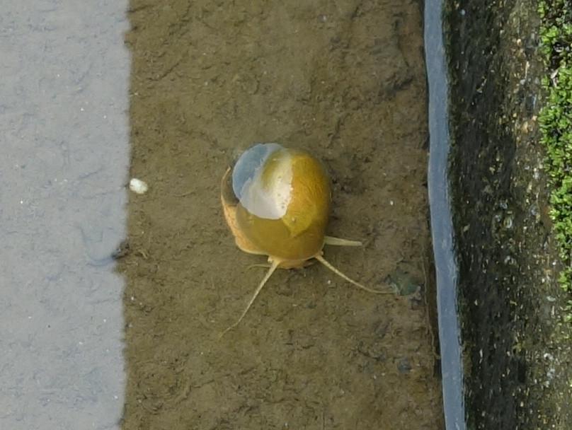 金色のジャンボタニシ