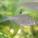 バラタナゴ の幼魚の飼育