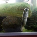 飼育している4匹のスッポンがエサを食べるところの観察と比較