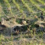 用水路や田んぼで5〜6羽で活動しているコガモの観察