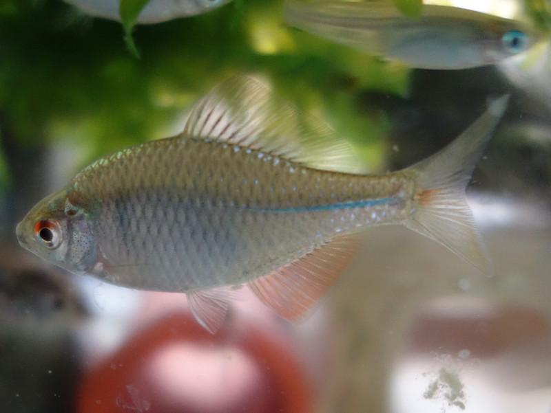 バラタナゴの幼魚