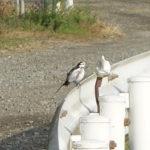水浴びをしてから羽繕いするハクセキレイ