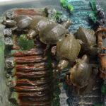 卵から孵化した赤ちゃんスッポン7匹の甲羅の形と柄の特徴