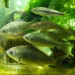 川魚とスッポンを飼っている3つのガラス水槽2020