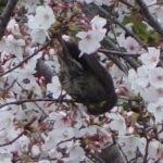 満開の桜の花の蜜を食べるヒヨドリの観察2020