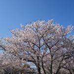 2020年春の近所の公園の満開の桜と青空