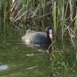 公園の横のため池にいたオオバン
