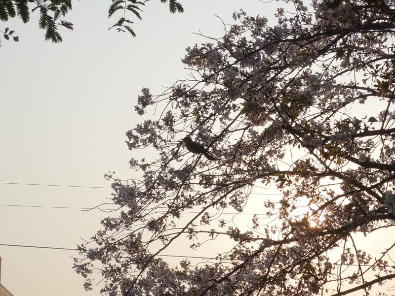 満開の染井吉野とヒヨドリ