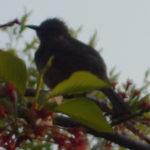 公園の満開の桜の木の上で激しく鳴いているヒヨドリ